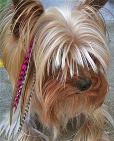 I LOVE this!!!  I want a dog with feather extensions!!