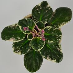 Therese Standard African Violet Plant