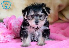Apple | Morkie Puppy For Sale | Keystone Puppies  #Morkie #KeystonePuppies