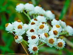 "28 Likes, 1 Comments - Cody James Rogers (@tinycameraphotography) on Instagram: ""Pearly Everlasting (Anaphalis margaritacea), English Point, Hayden, Idaho ° ° ° ° ° °…"""