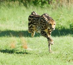"A king cheetah ©<a href=""http://www.dewildt.co.za/"" target=""_blank"">De Wildt</a>"