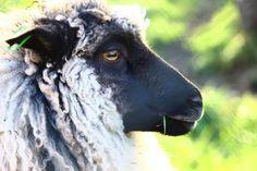 En av Øvre-Eide Gårds skjønne sauer. Bergen, Eid, Goats, Animals, Animais, Animales, Animaux, Animal, Goat