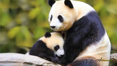 Google Image Result for http://www.wallsave.com/wallpapers/1366x768/animal/375233/animal-mother-and-baby-panda-bear-nature-cute-forest-375233.jpg