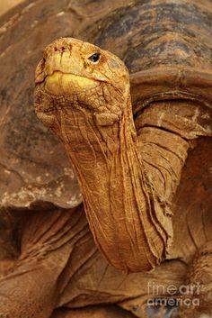 ~~Wrinkled Wisdom ~ Tortoise, Galapagos by Tom Cheatham~~