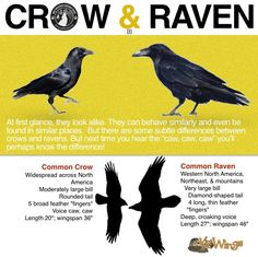 crow and raven differences                                                                                                                                                                                 More