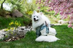 When we go to the hospital regularly every month, why don't our dogs go? Actually, dogs too need lifetime pet dog insurance. Japanese Spitz, Japanese Dogs, Japanese Geisha, Hypoallergenic Dog Breed, Benne, Samoyed Dogs, Dog Insurance, Pet Travel, White Dogs
