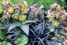 Yew border ideas (warm zone): Helleborus lividus, Ophiopogon nigrescens, Arum italicum 'Marmoratum', Tulipa 'Red Riding Hood'