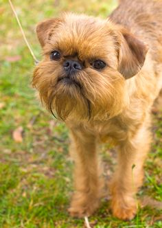 The Brussels Griffon is a somewhat rare toy breed dog! Click to learn more about this unique #dogbreed! #dogs #brusselsgriffon // BestBullySticks.com