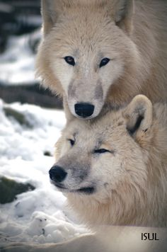 Wolves are so faithful to one another. They mate for life. :-)