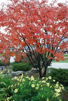 Serviceberry is a small deciduous ornamental tree.  It attracts 40+ species of birds including cardinal dove, robin, catbird, and goldfinch.  Fruits available June to August.  Native to Illinois.