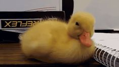 The perfect Pato NecesitoUnaSiesta Dormido Animated GIF for your conversation. Discover and Share the best GIFs on Tenor. Animals And Pets, Baby Animals, Funny Animals, Cute Animals, Cute Gif, Funny Cute, Hilarious, Images Gif, Baby Ducks