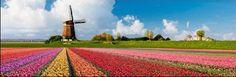 netherland tulips