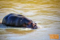 Hippo Goes for a Swim