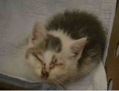 Tiny kitten en route to BACC from Queens is probably URI/conjunctivitis. Will need placement ASAP, following initial medical exam at BACC. If you will be able to take, please contact a NEW HOPE RESCUE ASAP!