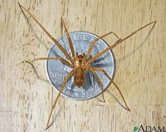 This is a brown recluse...read what happened when it bit my grandbaby, Blythe.  See the pictures of the progression.
