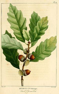 n90_w1150 by BioDivLibrary on Flickr.  Histoire des arbres forestiers de l'Amérique septentrionale,. Paris,L. Haussmann,1812-13.. biodiversitylibrary.org/page/27130039