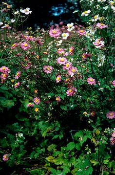 Find help & information on Anemone hupehensis var. japonica 'Pamina' Japanese anemone 'Pamina' from the RHS Slugs In Garden, Garden Soil, Late Summer Flowers, Japanese Anemone, Variegated Plants, Herbaceous Perennials, Garden Types, Winter Colors, Garden Planning