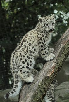Snow leopard cub More
