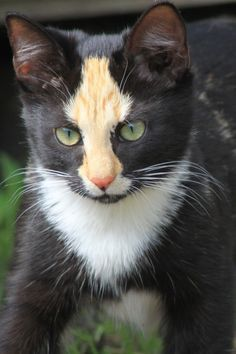 What incredible face markings this lovely kitty has. | Cat ...