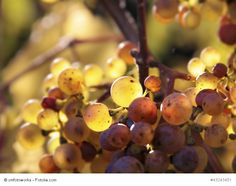 Wines of Sardinia: The Malvasia It's a dessert wine (and not only) fine and elegant, traditionally regarded as a symbol of hospitality and friendship, reserved for special occasions and special people. The vines called Malvasia are very numerous and not always similar to each other: for this often Malvasia cultivated in Sardinia, to avoid misunderstandings is rightly called Malvasia di Sardegna.