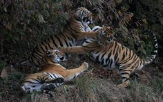 The Hostile Land of the Tiger Photo by Nirmalya Chakraborty — National Geographic Your Shot