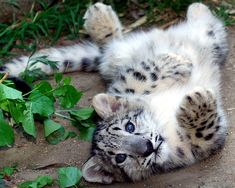 Snow Leopard Cub... This counts as a kitten right? He's saying hello!!!