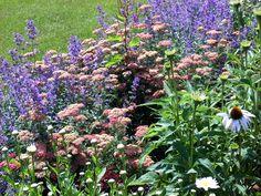 Perennials in September:  Achillea 'Paprika', Nepeta 'Walker's Low', Shasta 'Becky', Echinacea 'White Swan'