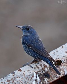 Blue rock thrush India,Rajkot,17-12-2014.  The blue rock thrush (Monticola solitarius) is a species of chat. This thrush-like Old World flycatcher was formerly placed in the family Turdidae. This species breeds in southern Europe and northwest Africa, and from central Asia to northern China and Malaysia. The European, north African and southeast Asian birds are mainly resident, apart from altitudinal movements. Other Asian populations are more migratory, wintering in sub-Saharan Africa, ...