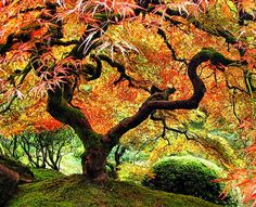 Japanese Maple looking like a fire dragon