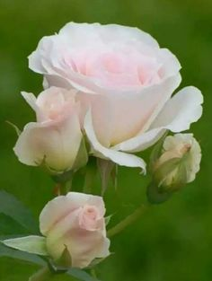Source: something to say# flowers All Flowers, Flowers Nature, My Flower, Pretty Flowers, White Roses, Pink Roses, Pale Pink, Foto Rose, Parfum Rose