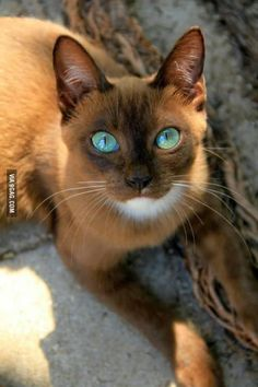 This cat has beautiful eyes