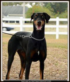 . Dogs, Animals, Doberman, Animales, Animaux, Pet Dogs, Doggies, Animal, Animais