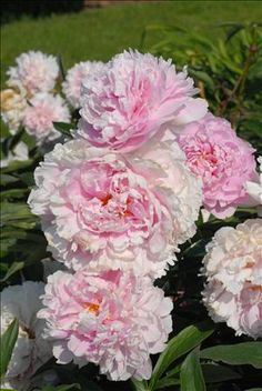 Peony: best to plant in fall, buds 2 inches below top of soil, full sun, good drainage,