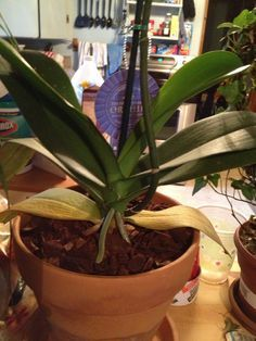 Why are my orchid leaves turning yellow? If your bottom orchid leaf has turned yellow it does not necessarily mean your orchid is sick or dying. You can not prevent your bottom orchid leaves from t…
