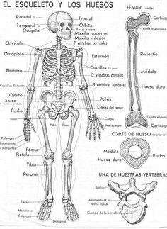 The skeleton and bones coloring pages in spanish / Dekokin Medicine Notes, Medicine Student, Human Skeleton Anatomy, Human Anatomy, Medical Anatomy, Nursing Notes, Med Student, Anatomy And Physiology, Nursing Students