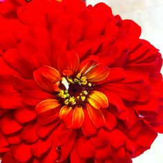 Summer red zinnia.  I plant these every year in my L shaped garden my luv made me!