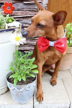 Hugo #miniaturepinscher with #homemade #handmade #sew #dogcollar with #bowtie for #wedding