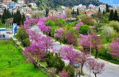 Ο διάσημος δρόμος με τις ανθισμένες κουτσουπιές στα Ιωάννινα σε 10 ονειρεμένες φωτογραφίες