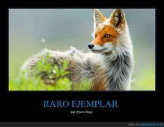 Resultado de imagen para zorro blanco y rojo
