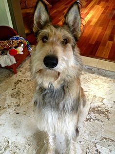picardy sheepdog photo | He is a full-bred Picardy Shepherd, also known as a Berger Picard, and ...