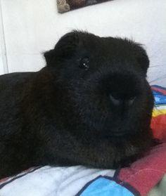 My guinea pig Ruby.