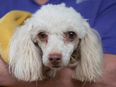 Petango.com – Meet Boo, a 8 years 7 months Poodle, Miniature available for adoption in COLORADO SPRINGS, CO