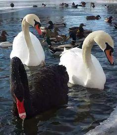 Preciosos cisnes