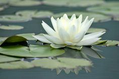Lily Pads & Lotus Flowers II IMG #5 - Click Image to Close
