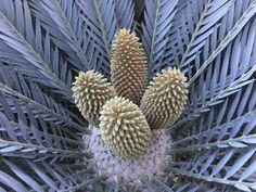 E.prinseps male Jan.2017 Planting Seeds, Planting Flowers, Life Form, Tropical Plants, Botany, Botanical Gardens, Evergreen, Flora, Paradise