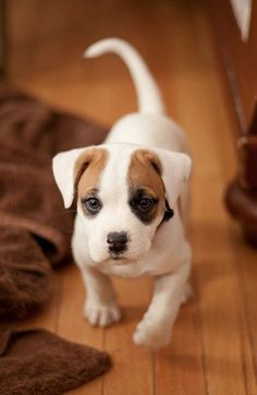The Jack Russell terrier is a very energetic and active dog breed. They are spirited, obedient and very amusing. They are very active and requires much exercise to prevent it from becoming destructive.
