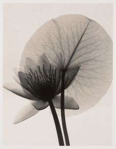 Nymphaea (Water Lily) x ray image White Photography, Fine Art Photography, Lotus, Floral, Water Lilies, Light In The Dark, Beautiful Flowers, Illustration, Black And White