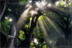Crepuscular Rays Through Monkey Pod Trees, Hana Coast, Maui Canon sec. Purple Mountain Majesty, Sea To Shining Sea, Make Pictures, Beautiful Places In The World, Fairy Land, God Bless America, Best Photographers, Maui, Hawaii