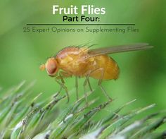 Friendly gut bacteria team up to break down herbicide that might otherwise harm fruit flies. Frog Facts, Creation Myth, No Sugar Diet, Gut Microbiome, Fruit Flies, Fruit Party, Darwin, Home Remedies, Helpful Hints