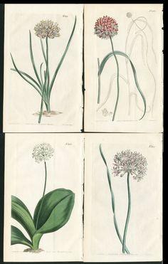 1813 CURTIS BOTANICAL MAGAZINE HC GARLIC FLOWERS ETC, 4 ANTIQUE PRINTS | eBay